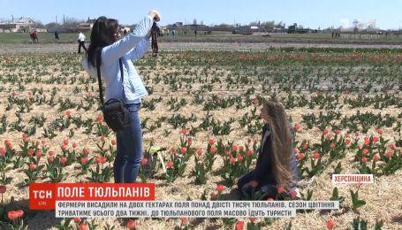 На Херсонщине зацвело более двухсот тысяч тюльпанов