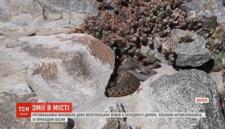 Жителів Дніпра нажахала півтораметрова змія на набережній