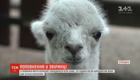 В зверинце города Кечкемет родилась белая лама