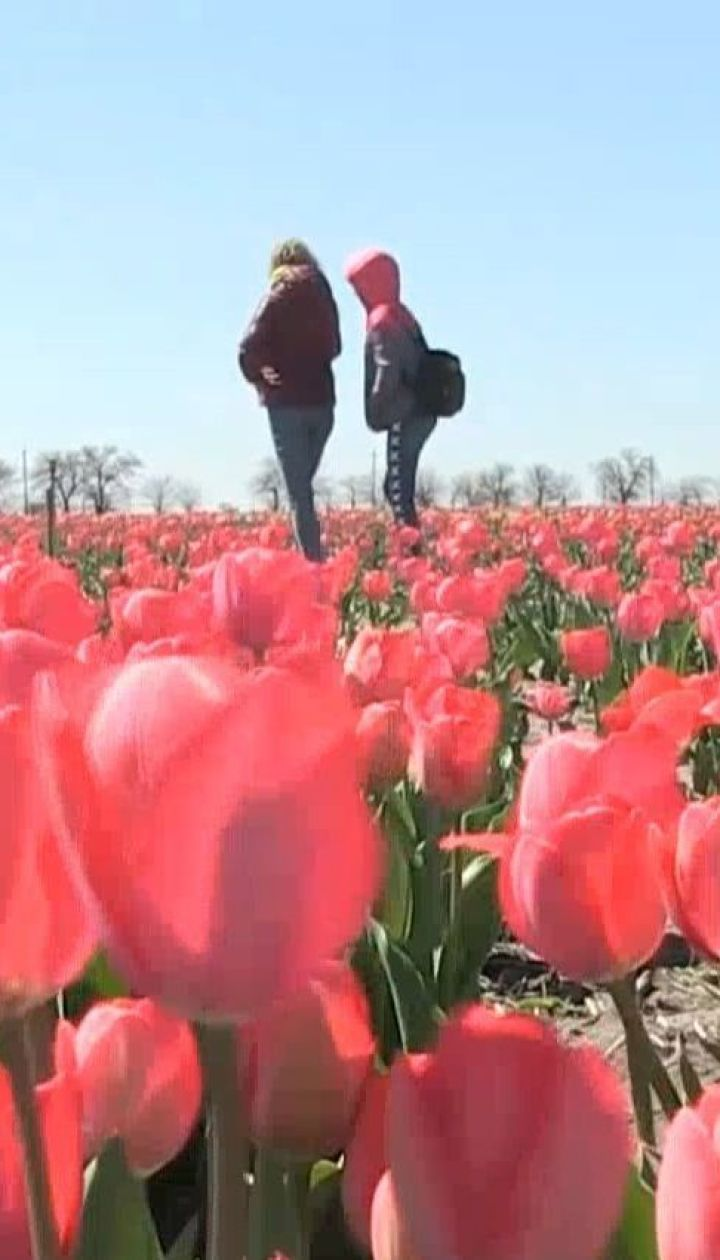 Маленька Голландія: фермери висадили на двох гектарах поля тисячі тюльпанів