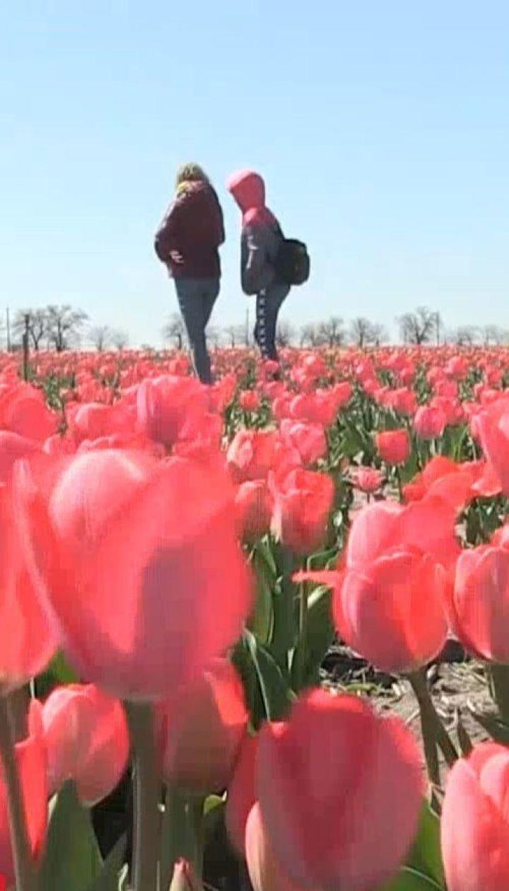 Маленькая Голландия: фермеры высадили на двух гектарах поля тысячи тюльпанов