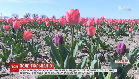 Целое поле тюльпанов расцвело в Херсонской области