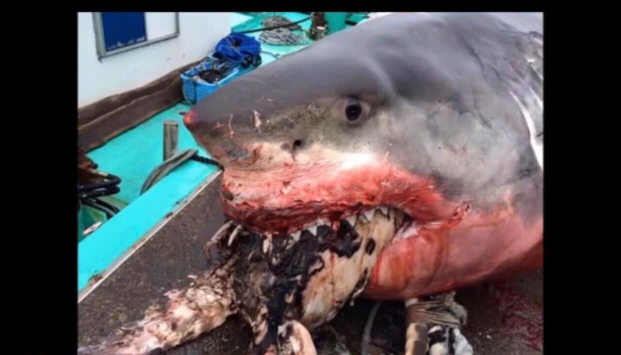 У Японії знайшли мертву двотонну акулу, яка вдавилася Гігантська біла акула вдавилася черепахою