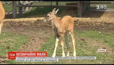 В Винницком зоопарке родилась редкая антилопа Канна