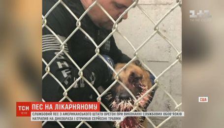 В США дикобраз ранил служебного пса, оставив в нем более 200 игл