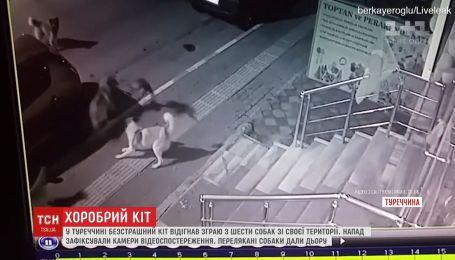 У Туреччині сміливий кіт переміг 6 собак