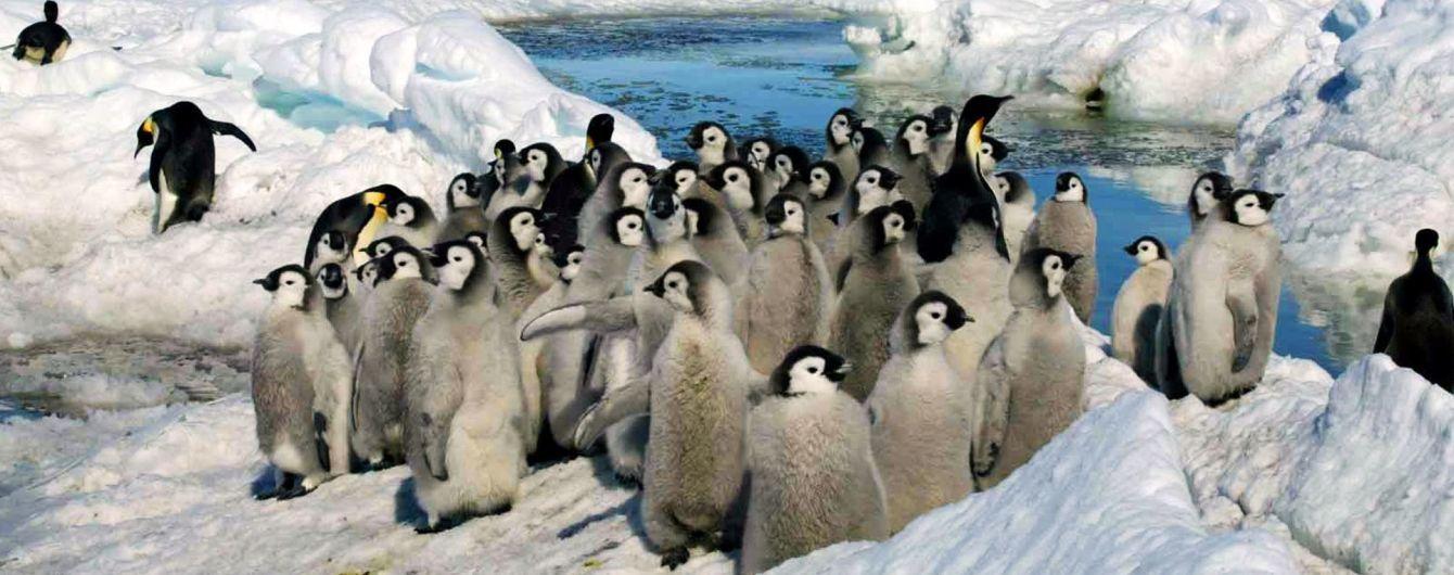 Послід пінгвінів виробляє так багато веселющого газу, що сп'янив дослідників