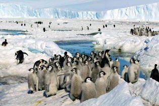 В Антарктике загадочно умерли тысячи императорских пингвинов. Как это произошло и грозит ли виду полное исчезновение