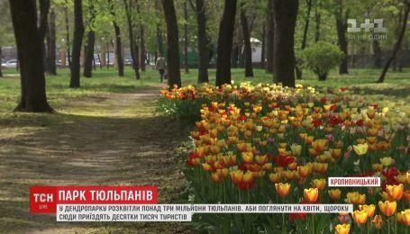 Более трех миллионов тюльпанов расцвело в Кропивницком