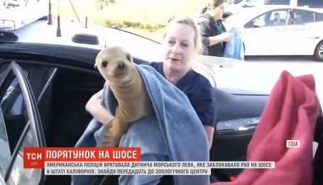Американская полиция спасла детеныша морского льва, который заблокировал движение на трассе