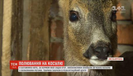 У багажнику авто зоозахисники знайшли зв'язану козулю з обпиляним рогами