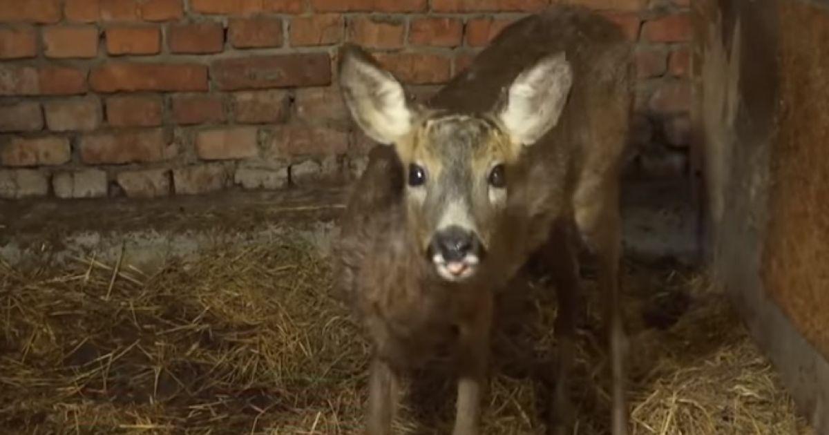 У Вінниці зоозахисники звинуватили єгерів у тому, що ледь не відправили козулю на шашлик