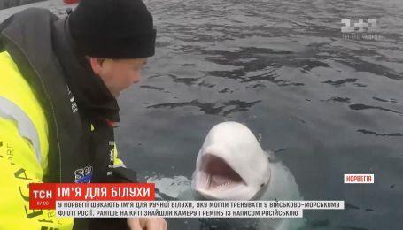 Норвежці вигадують ім'я для білухи, яку могли тренувати у військово-морському флоті РФ