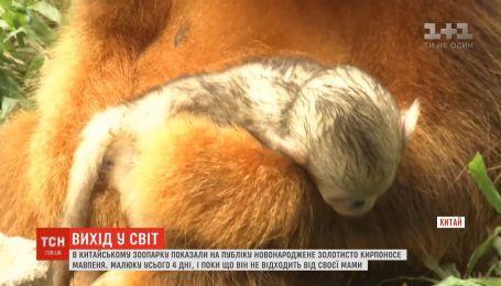 Младенца редкой золотой курносой обезьяны впервые показали на публику в зоопарке Китая