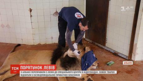 Трех львов спасли от безответственных владельцев в Албании