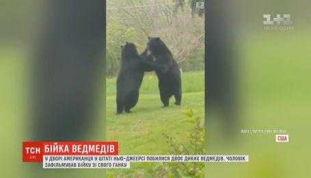 Двое диких медведей устроили драку во дворе американца