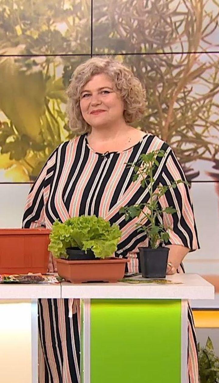 Як виростити на балконі помідори, огірки та перець