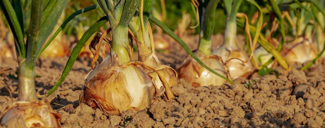 На Черниговщине чиновники провели тендер на приобретение полкило лука на 5 грн
