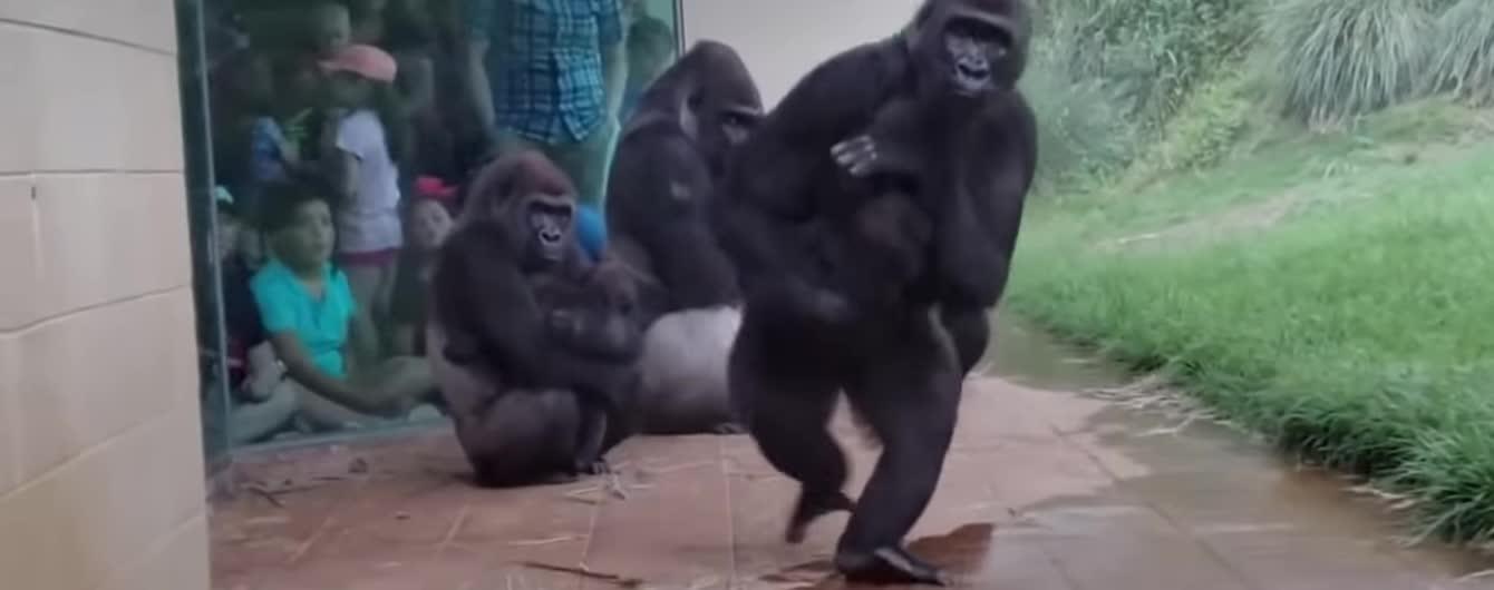 Кумедні спроби горил сховатися від дощу потрапили на вірусне відео