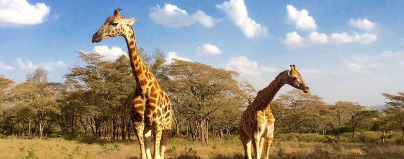 В Кении туристам предлагают завтракать вместе с жирафами