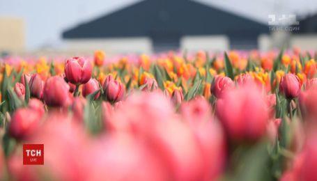 """Во второй серии """"Голландского сокровища"""" - возможно ли вырастить в Украине отборные цветы"""