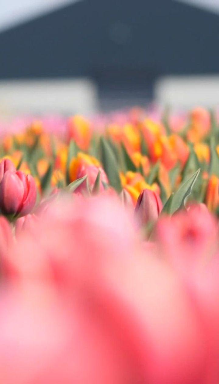 """У другій серії """"Голландського скарбу"""" - чи можливо виростити в Україні добірні квіти"""