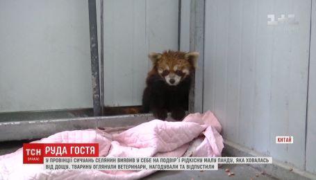 В китайской провинции Сычуань селянин обнаружил у себя во дворе редкую красную панду