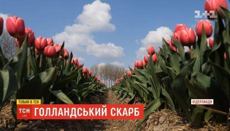 Голландський скарб: як виростити тюльпан, який імпортує весь світ