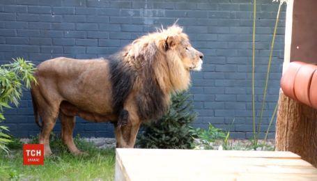 Урятованих левів з албанського зоопарку відправили до Нідерландів