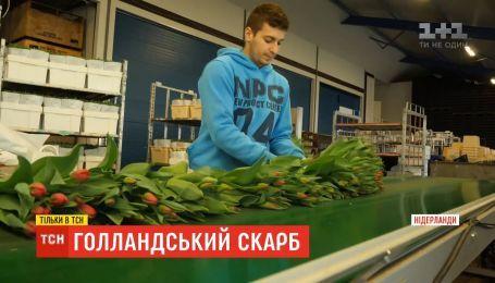 Голландський скарб: де купити тюльпани, втричі дешевші за українські