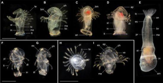 Біля берегів Панами біологи виявили морські личинки і не знають, що з них виросте