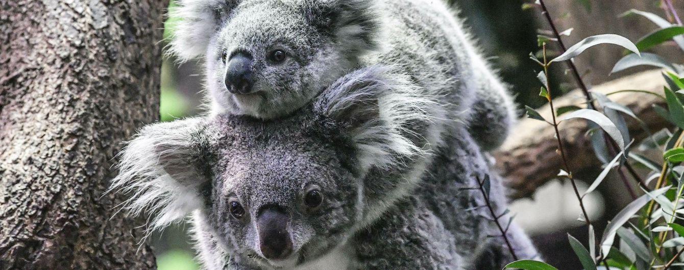 В Австралії від голоду померли десятки коал