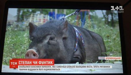 У Кропивницькому знайшлися власники поросяти, яке блукало вулицями міста