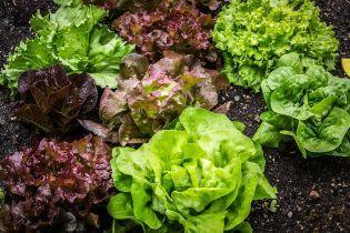 Бассейн для салата и полив с телефона: как в Украине выращивают зелень, которая не уступает импортной