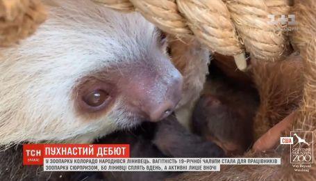 В зоопарке Колорадо родился ленивец