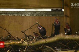 У лондонському Тауері вперше за 30 років з'явилося поповнення птахів-оберегів Британії