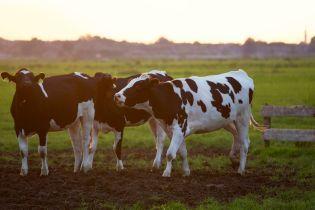 В Україні поменшало великої рогатої худоби