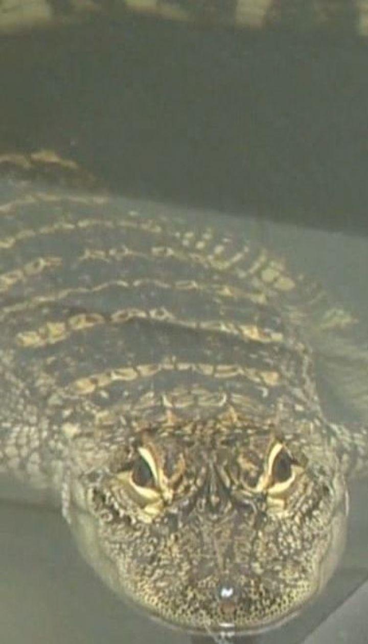 У Піттсбурзі на березі річки американська сім'я випадково помітила алігатора