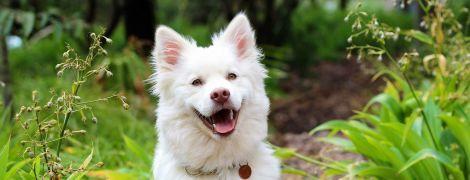"""Чи маніпулюють собаки """"сумними оченятами"""" і справді усміхаються нам. Відповідь учених"""