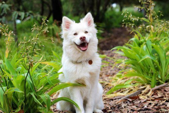 """Чи маніпулюють собаки """"сумними оченятами"""" і справді посміхаються нам. Відповідь учених"""