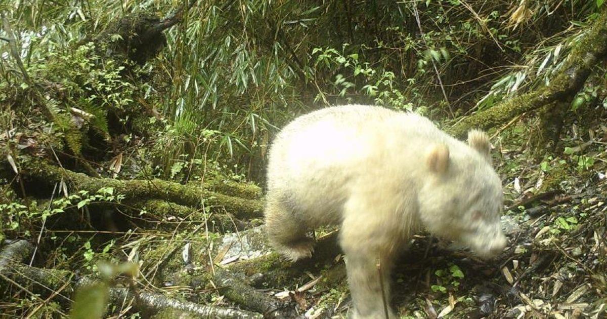 В Китае сфотографировали редкую панду-альбиноса