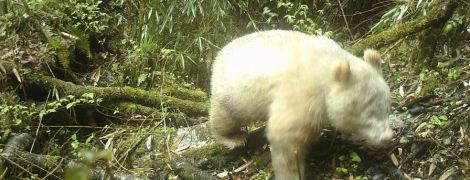 У Китаї сфотографували рідкісну панду-альбіноса