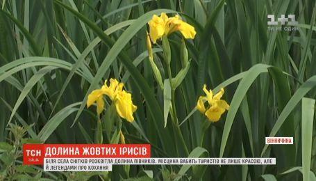 На Вінниччині розквітла долина жовтих ірисів