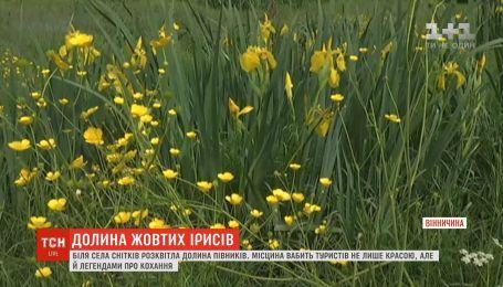 Унікальна долина жовтих ірисів розквітла на Вінниччині