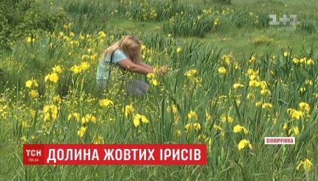 Жовті іриси милують квітом туристів і мешканців Вінниччини