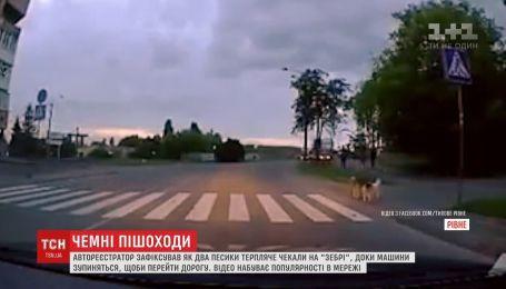 Кадри, на яких двоє песиків перебігають дорогу пішохідним переходом, підкорюють Мережу