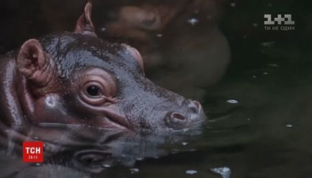 Маленького гіпопотама показали відвідувачам далласького зоопарку