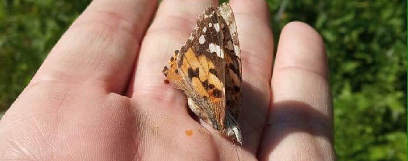 Київ заполонили метелики: чому багато комах