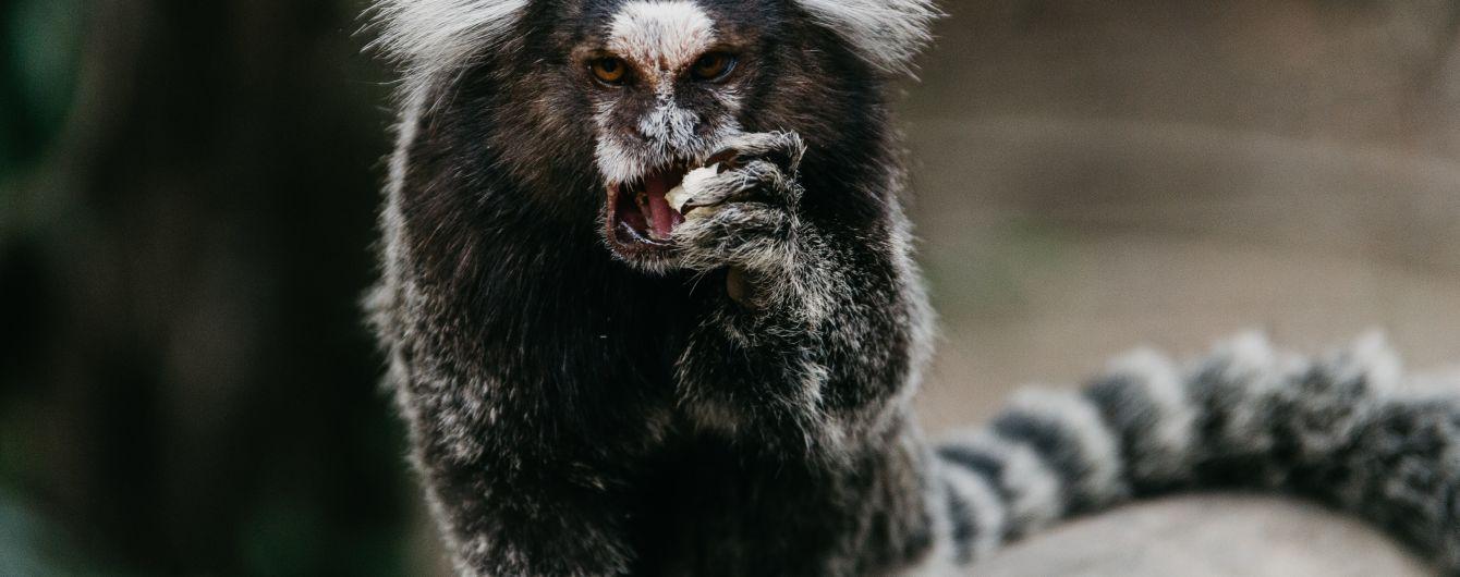 На камеру сняли агрессивную обезьяну, которая напала на утку и съела ее утят