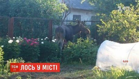 Во Львове дикий лось забежал на частный двор и смертельно поранился